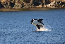 Anacortes Guaranteed Whale Watch Tour in Anacortes, Washington