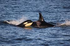 Classic Whale Watch & Wildlife Tour in Friday Harbor, Washington