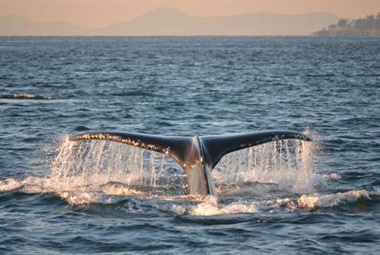 San Juan Safari's Classic Whale Watch & Wildlife Tour