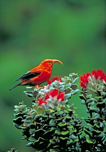 Iiwi, a Hawaiian honeycreeper