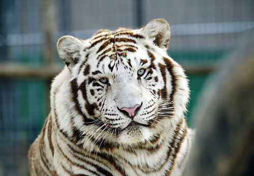 National Tiger Sanctuary in Saddlebrooke, Missouri