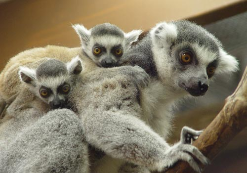 A female Lemur and her babies at Rainforest Adventures in Sevierville, Tennessee