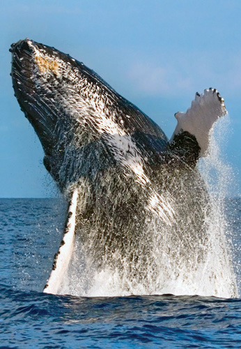 See magnificent humpback whales during Hawaii's whale season December through April.