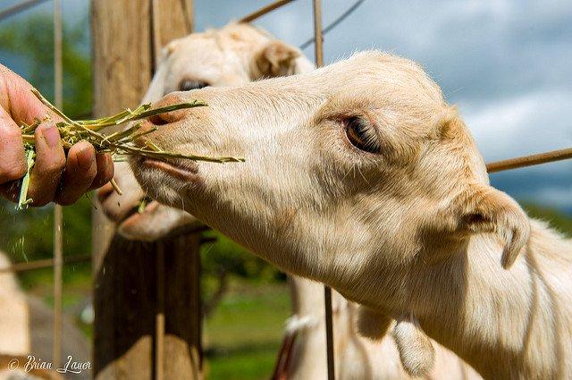 Surfing Goat Dairy Flickr