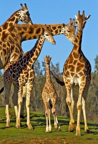 San_Diego_Zoo_Safari_Park_(55431)