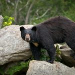 Smoky Mountain Bear