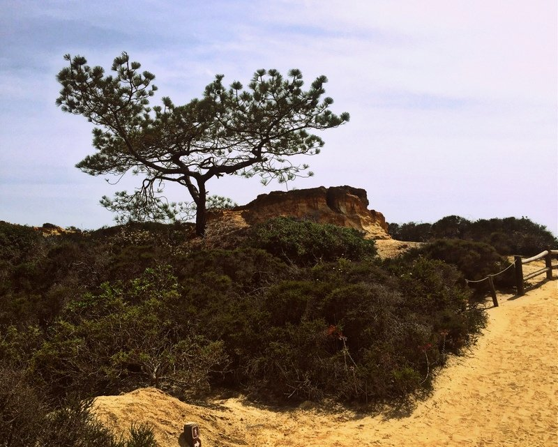 An iconic Torrey pine grows alongside the Razor Point Trail