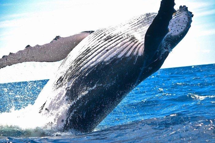 whale-watch-kona