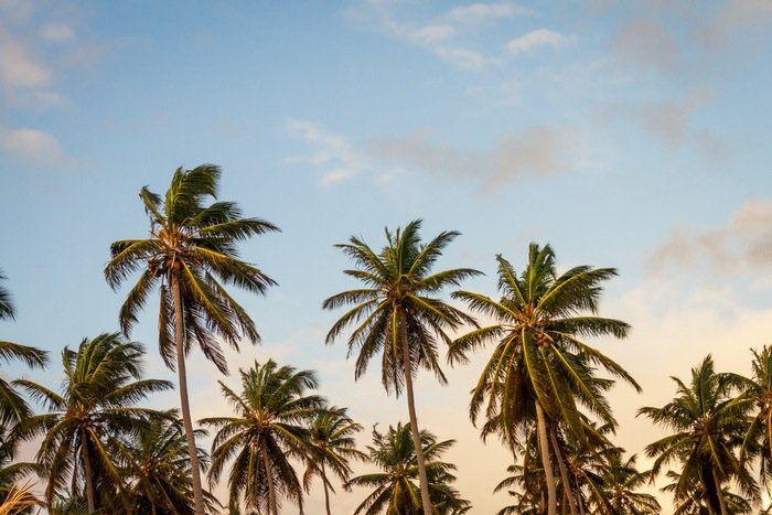 Palm trees sway against a slightly cloudy beach sky