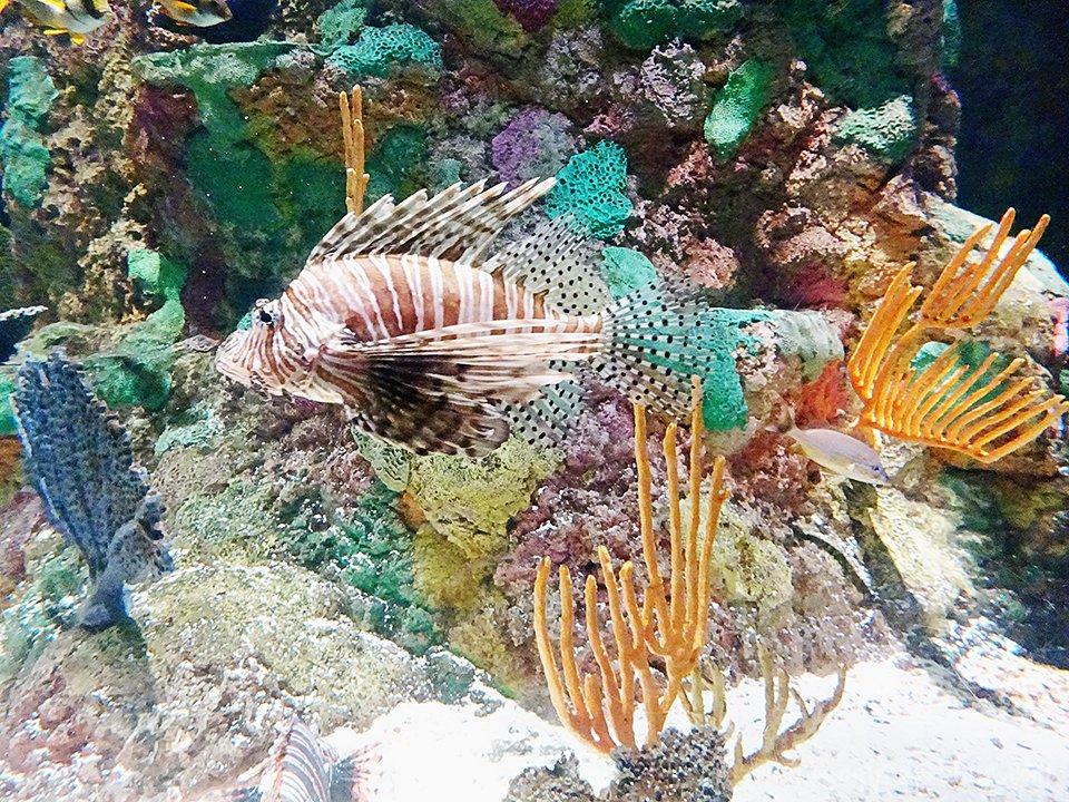 seaworld-lionfish-ssd