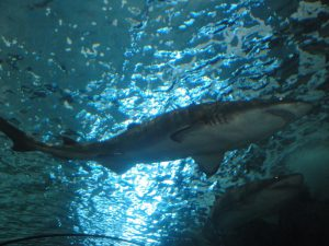 Shark swims underwater at Ripley's Aquarium in Gatlinburg, TN