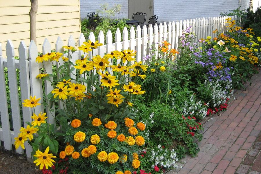 A garden with poppies, black-eyed susans, and other flowers against a white picket fence