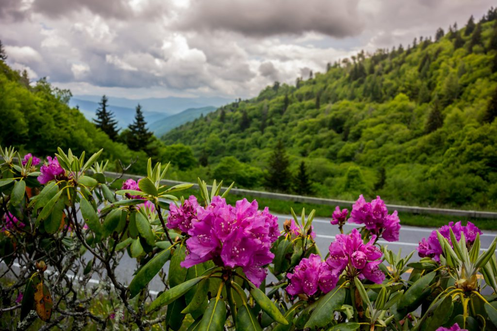 Pink flowers bloom alongside of a roadway in the Smoky Mountains during the spring