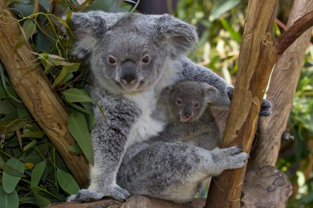 Koala mother and joey at the San Diego Zoo, one of the best tourist attractions in San Diego