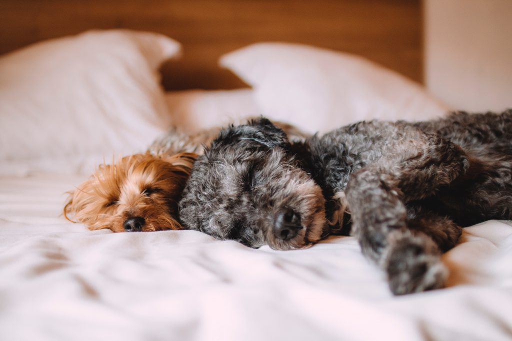 Two dogs sleeping on a hotel bed