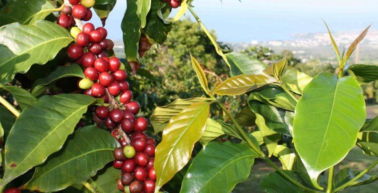 Kona coffee plant with city and ocean in the background