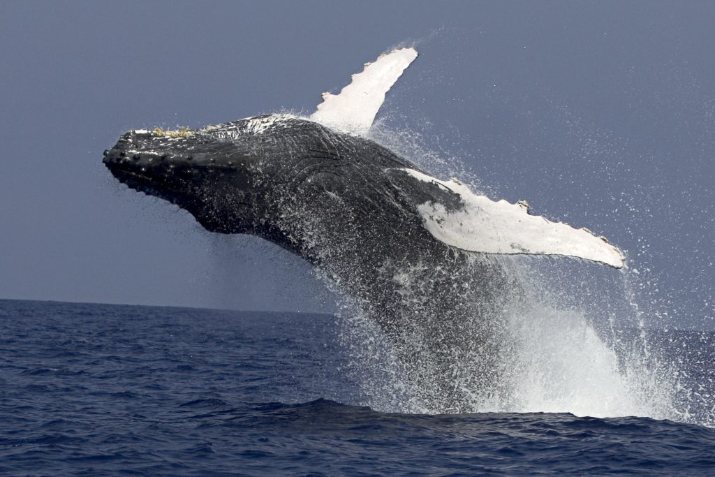A whale jumps out of the water during a cruise