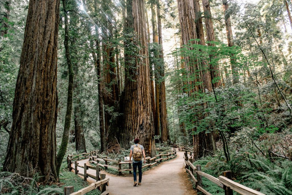 A man meets a fork in the road around a massive Redwood tree in Muir Woods