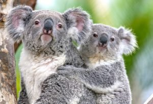 A Koala and a joey hang from a tree at the San Diego Zoo
