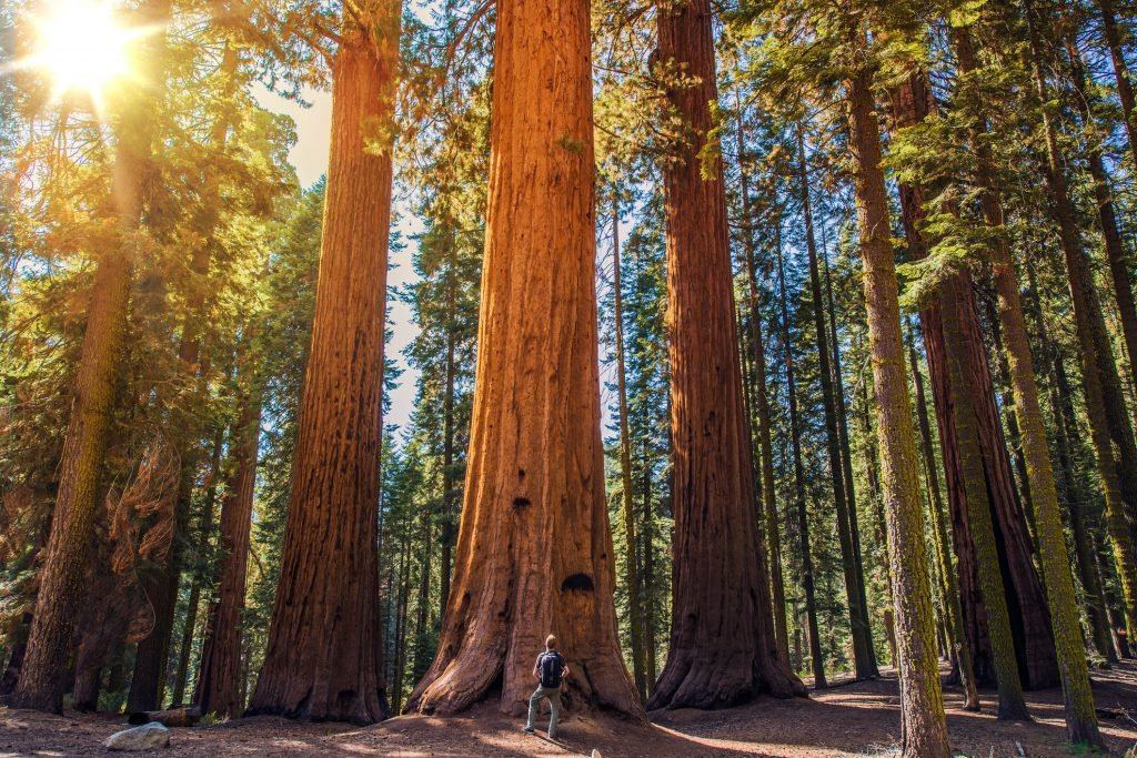 Take a trip to see the towering Sequoia trees
